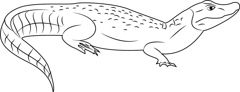 Broad Snouted Caiman Coloring Page Free Alligator