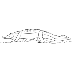 Big American Alligator Free Coloring Page for Kids