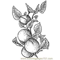 Apricots coloring page