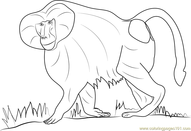 Hamadryas Baboon Coloring Page Free Baboon Coloring Pages