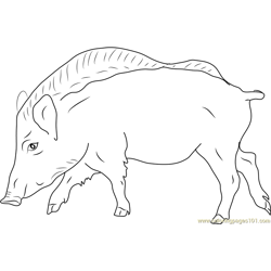 European Wild Boar Free Coloring Page for Kids