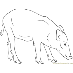 Indian Boar Free Coloring Page for Kids