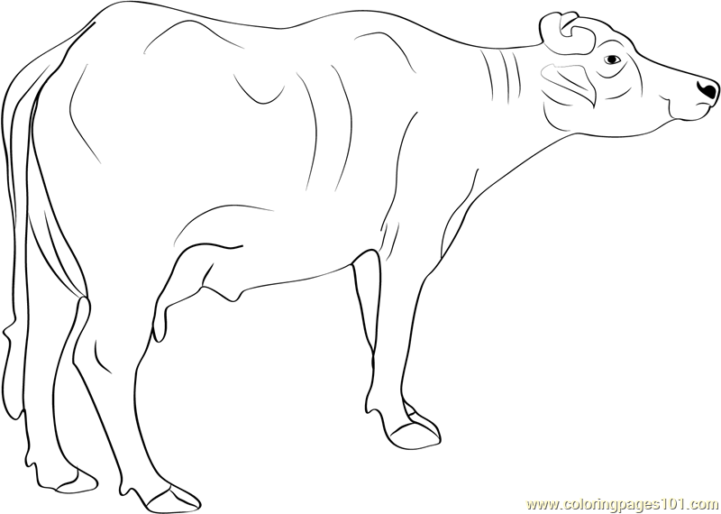 Murrah Buffalo Coloring Page