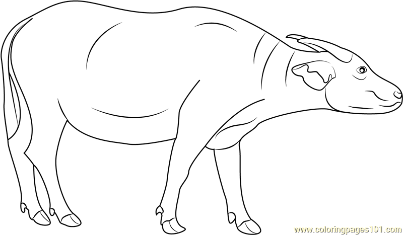 Swamp Buffalo Coloring Page Free Buffalo Coloring Pages