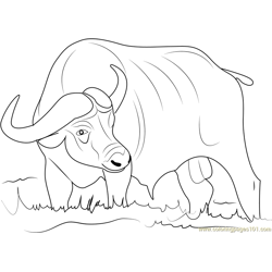Asiatic Buffalo