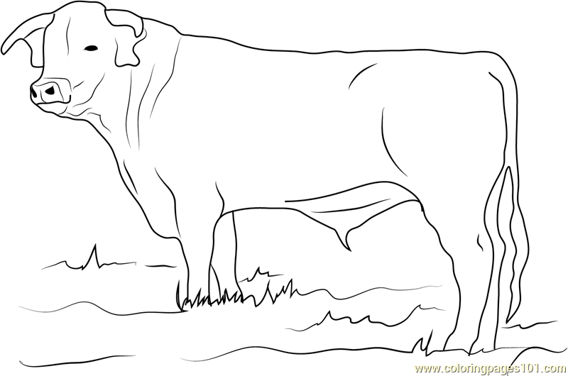 Ongole Bull Coloring Page Free Bull Coloring Pages