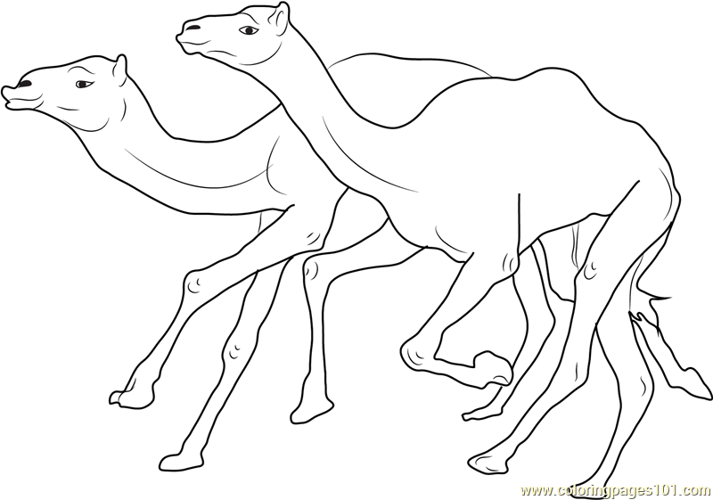 Camel Racing Coloring Page Free