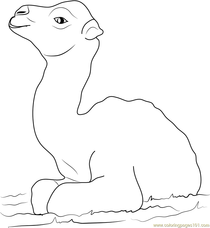 Little Baby Camel Coloring Page Free Camel Coloring Pages
