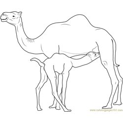 Camel Baby Drinks Camels Milk