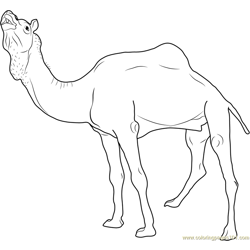 Marrecha Camel Free Coloring Page for Kids