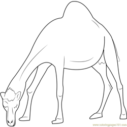 Oman Camel Free Coloring Page for Kids