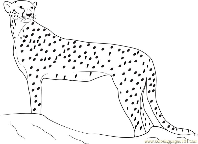 Cheetah Looking for Food Coloring