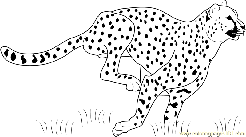cheetah running coloring page free cheetah coloring