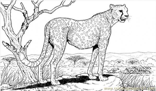 Cheetah Coloring Page Free Cheetah