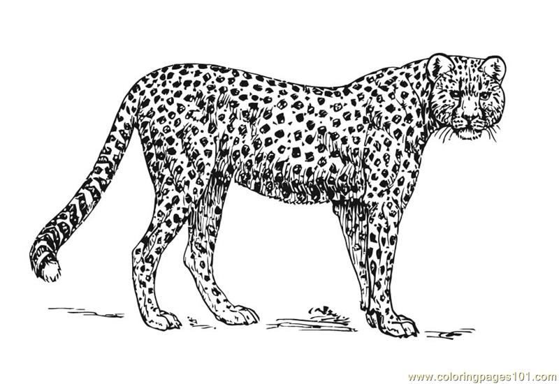 Cheetah Coloring Page  Free Cheetah Coloring Pages