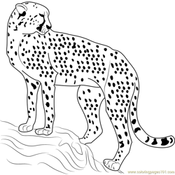 Cheetah Looking Back Free Coloring Page for Kids