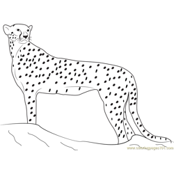 Cheetah Looking for Food Free Coloring Page for Kids