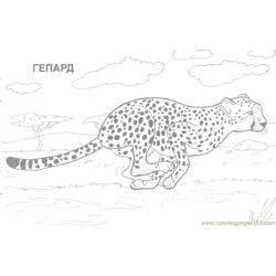 Cheetah Coloring Page Free Cheetah