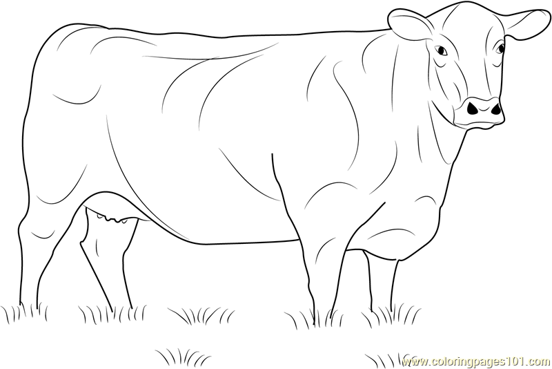 angus cow coloring page