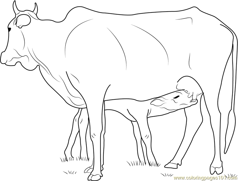 Cow Feeding Calf Coloring Page Free Cow Coloring Pages