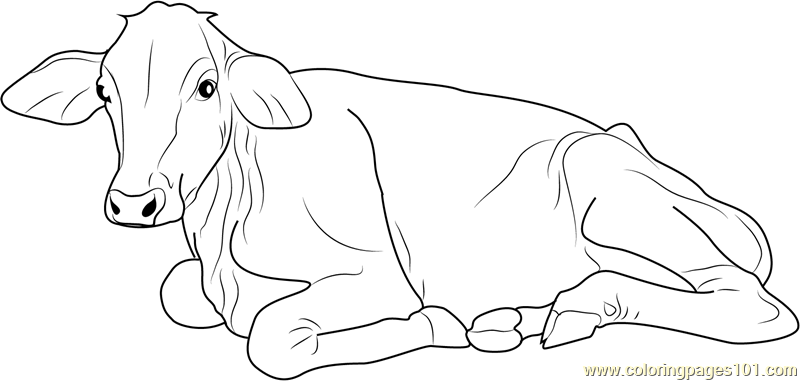 Cow Sitting Coloring Page