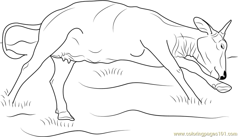 Cow Sleeping Coloring Page
