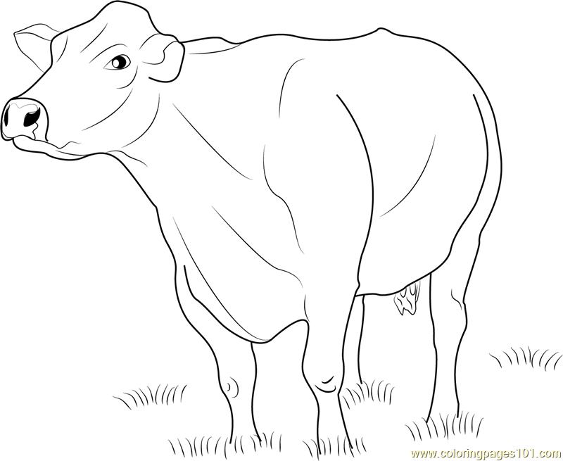 Jersey Dairy Cattle Coloring Page Free Cow Coloring Pages