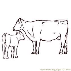 Angus cow calf