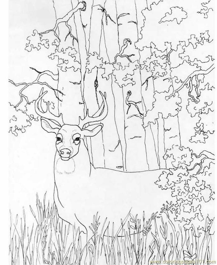 whitetail deer coloring page - Hunting Coloring Pages