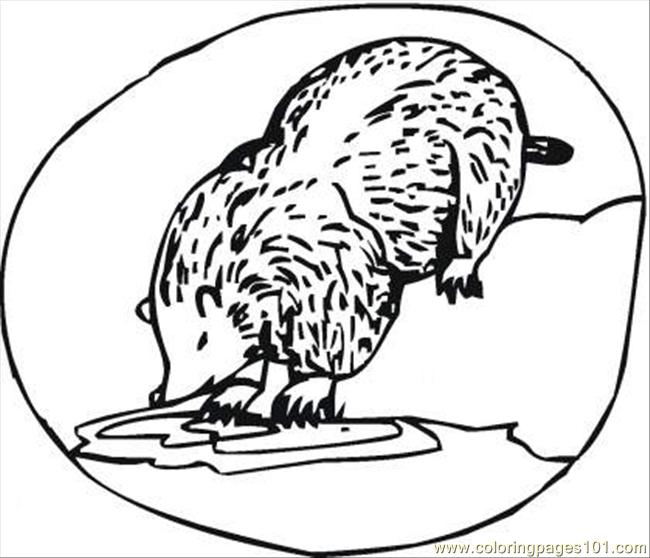 Badger Drinks Coloring Page Coloring Page