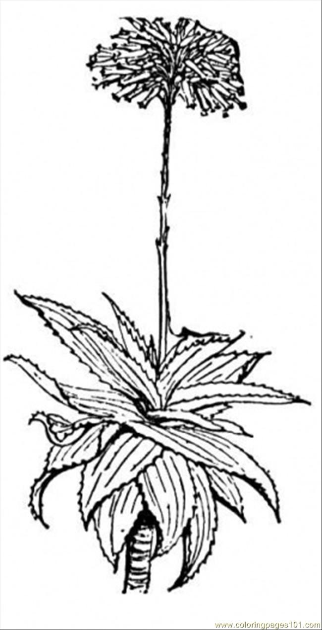 Aloe 1 Coloring Page