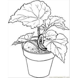 Begonia 4 Coloring Page
