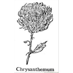 Chrysanthemum 5