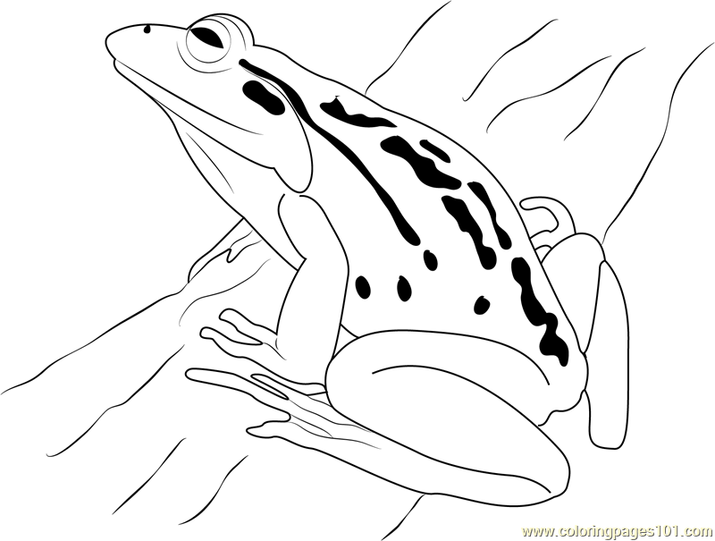 frog coloring page frog