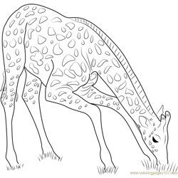 Giraffe Eating Grass Free Coloring Page for Kids