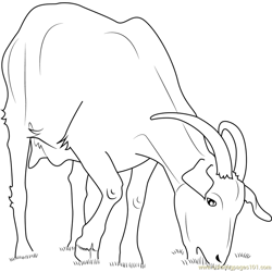 Domestic Goat coloring page
