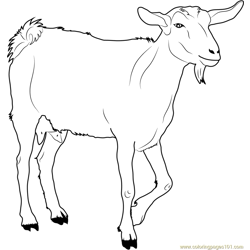 White Goat Free Coloring Page for Kids
