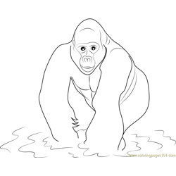 Gorilla in Water