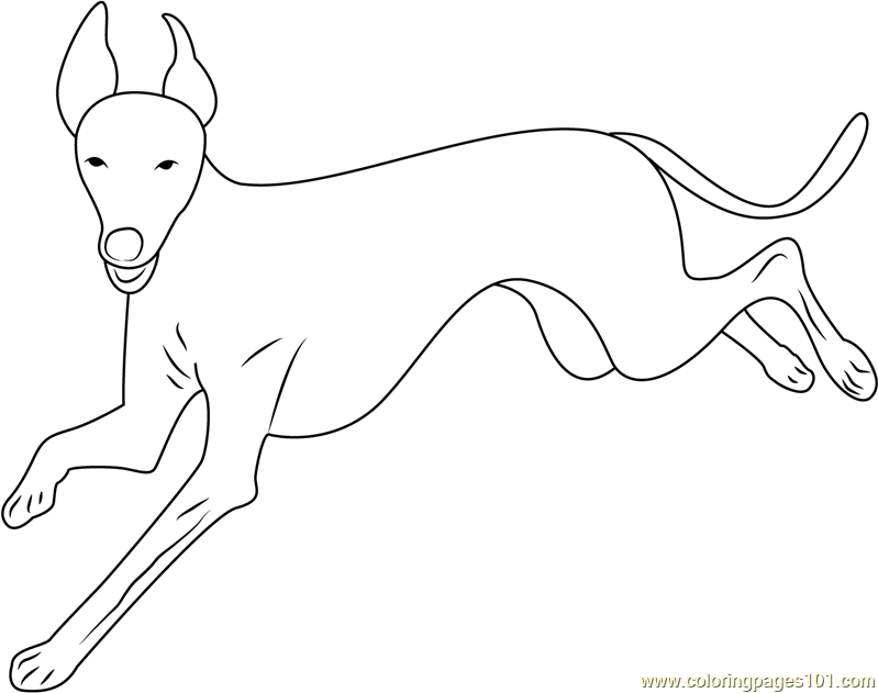 Italian Greyhound Running Coloring Page