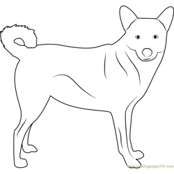 Cute Canaan Dog