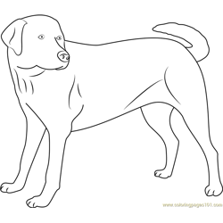 Yellow Labrador Looking new Free Coloring Page for Kids