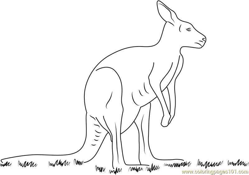Kangaroo Coloring Page Free Kangaroo