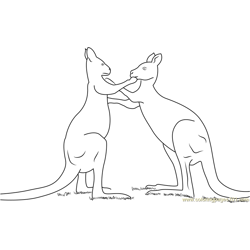 Kangaroo Play Fighting