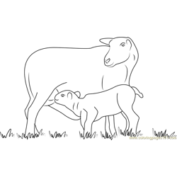 Lamb Suckling From Its Mother