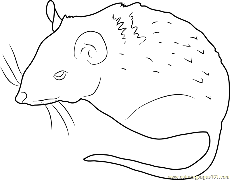Peromyscus Mouse