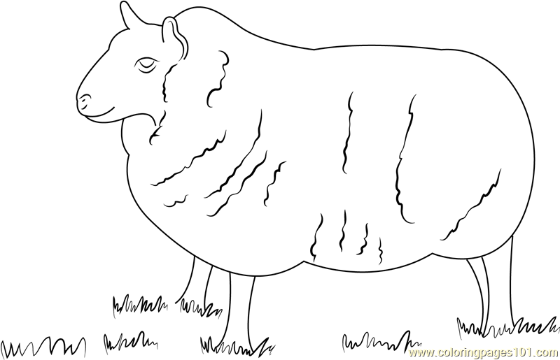 Cheviot Sheep Coloring Page Free