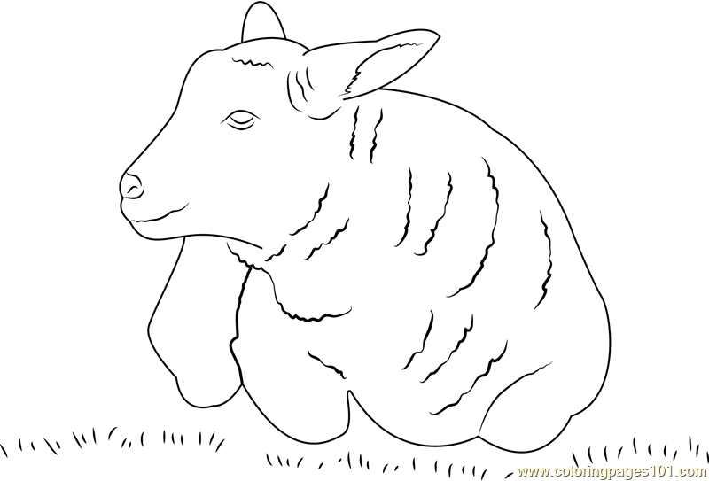 Lamb Sheep Coloring Page