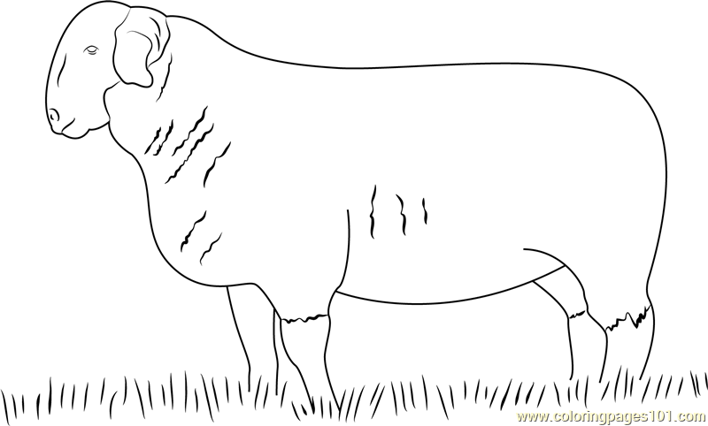 Suffolk Ram Coloring Page