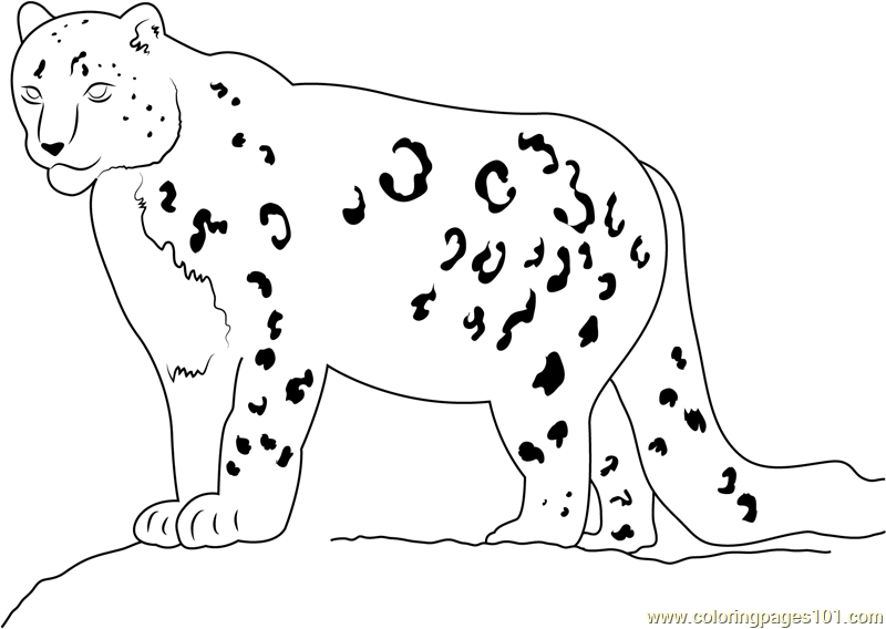 Snow Leopard Looking His Food Coloring Page