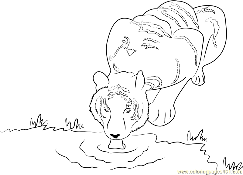 Tiger Drinking a Water Coloring Page